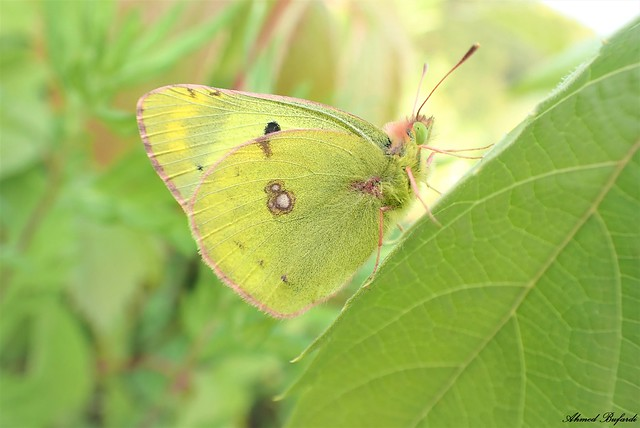 Butterfly 2082 (Colias crocea)