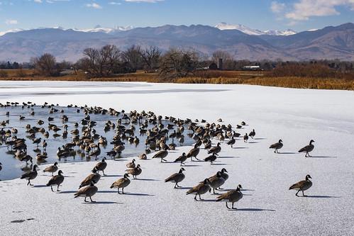 canadageese overwinter winterresident boulder avian bird scenic landscape earthnaturelife wondersofnature