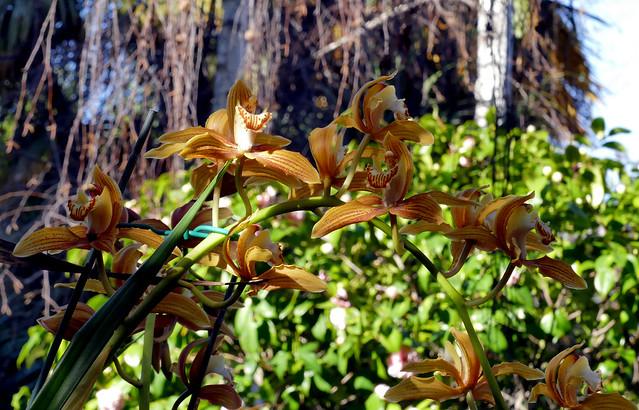 Cymbidium Moira 'Cinnabar' hybrid orchid