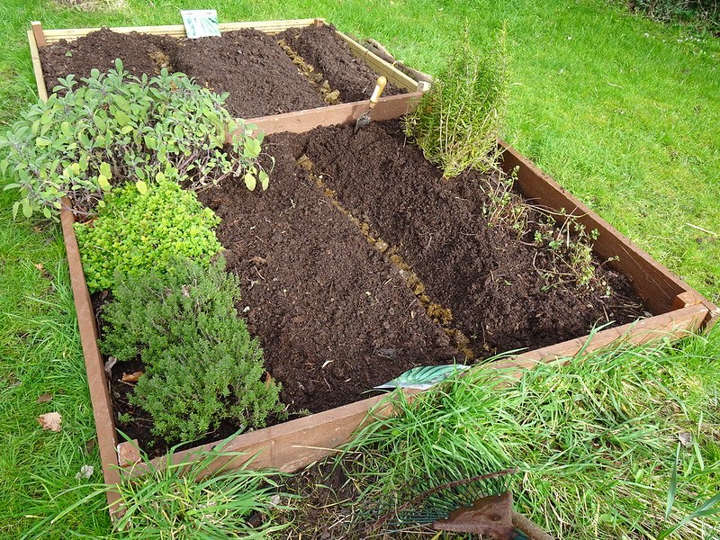 Sowing peas and broad beans: trenches prepped with an old horse manure base