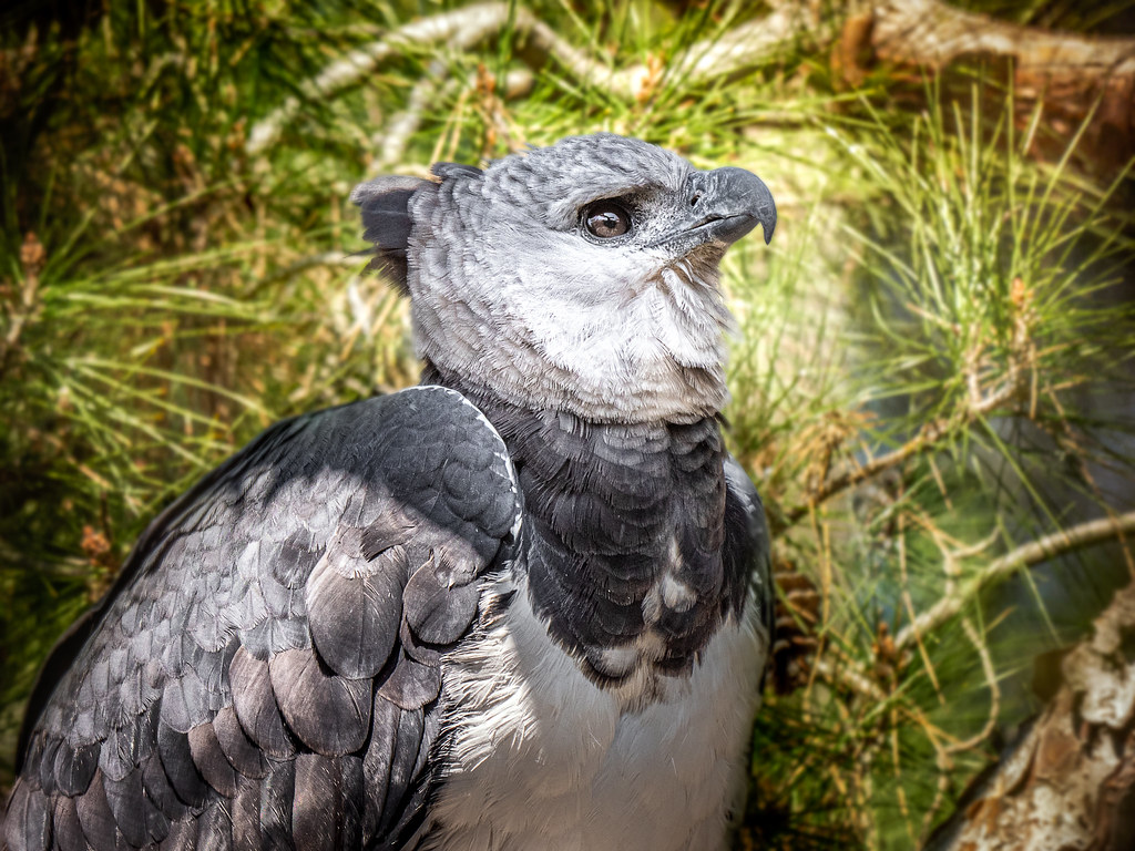 Harpy Eagle in the Pines
