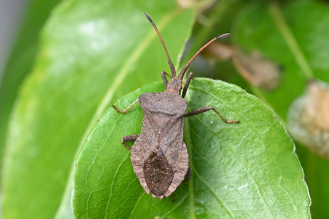 Coreus marginatus - Corée marginée – Dock bug