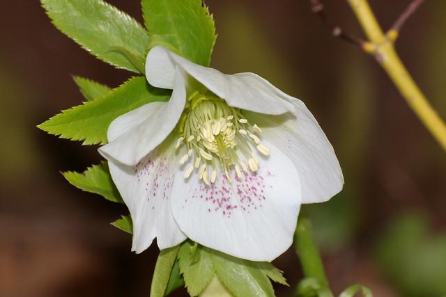 Helleborus hybridus - white
