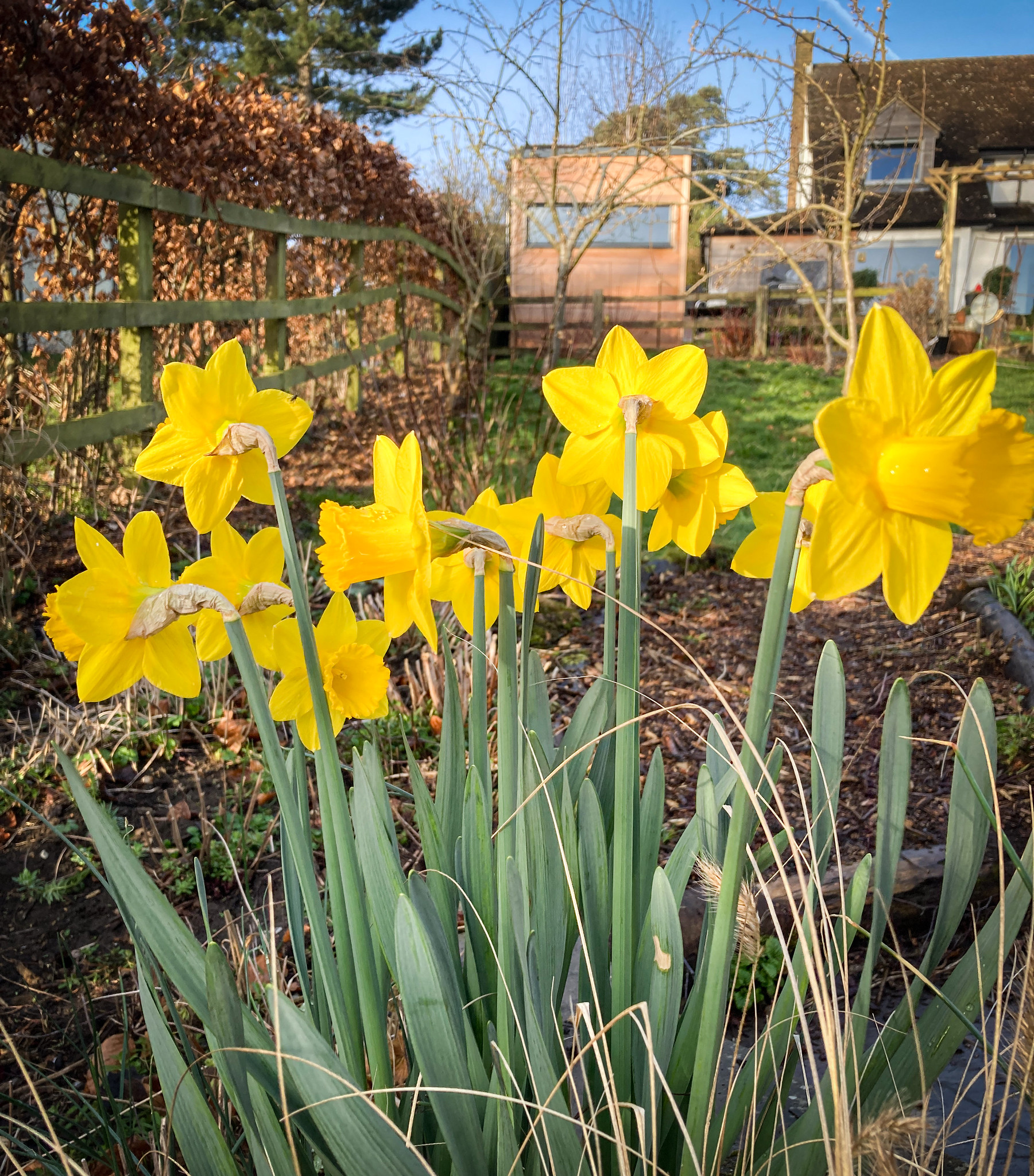 Back of the daffs