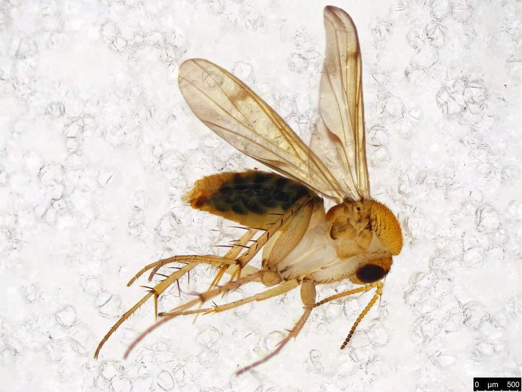3 - Mycetophilidae sp.