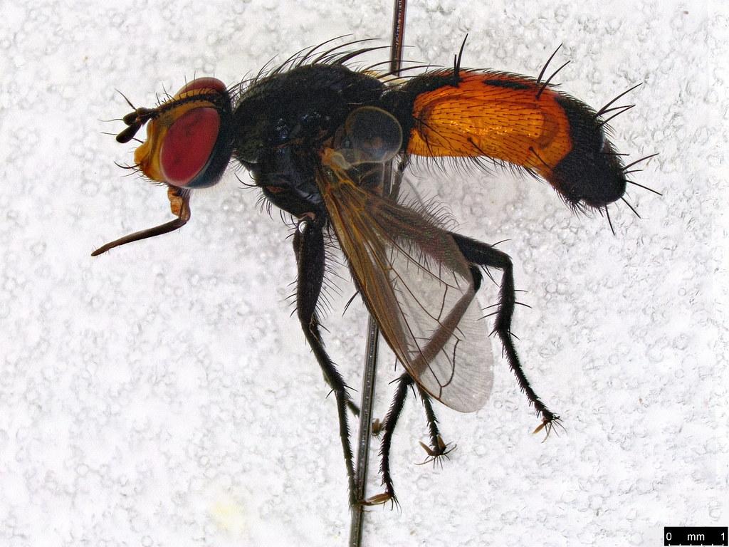 8 - Tachinidae sp.