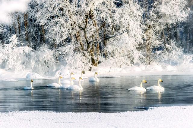 joutsenet /swans