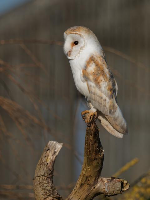 Barn Owl This Shot No More