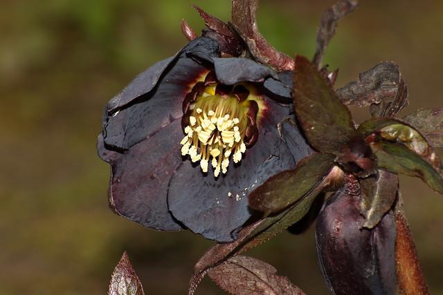 Ashwood Black (Helleborus hybridus)