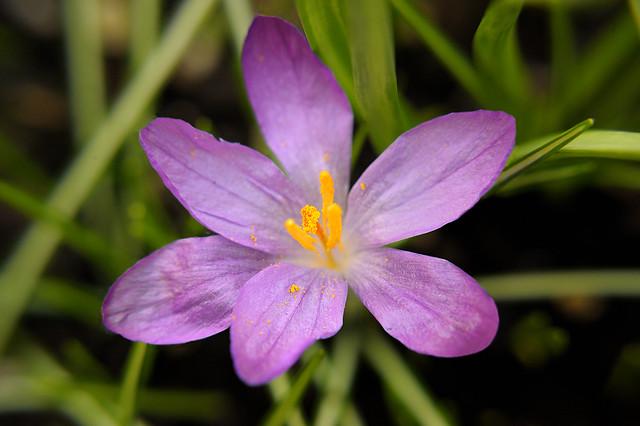 Greater saffron bulb