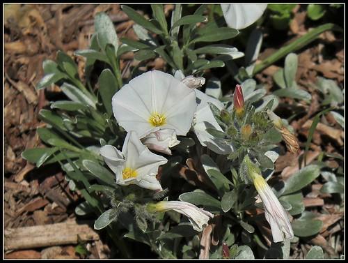 Convolvulus cneorum - liseron de Turquie 51042848397_ff41e16a76
