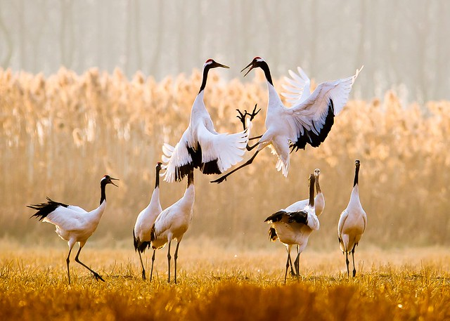 盐城丹顶鹤保护区Yancheng Red-crowned Crane Reserve Area