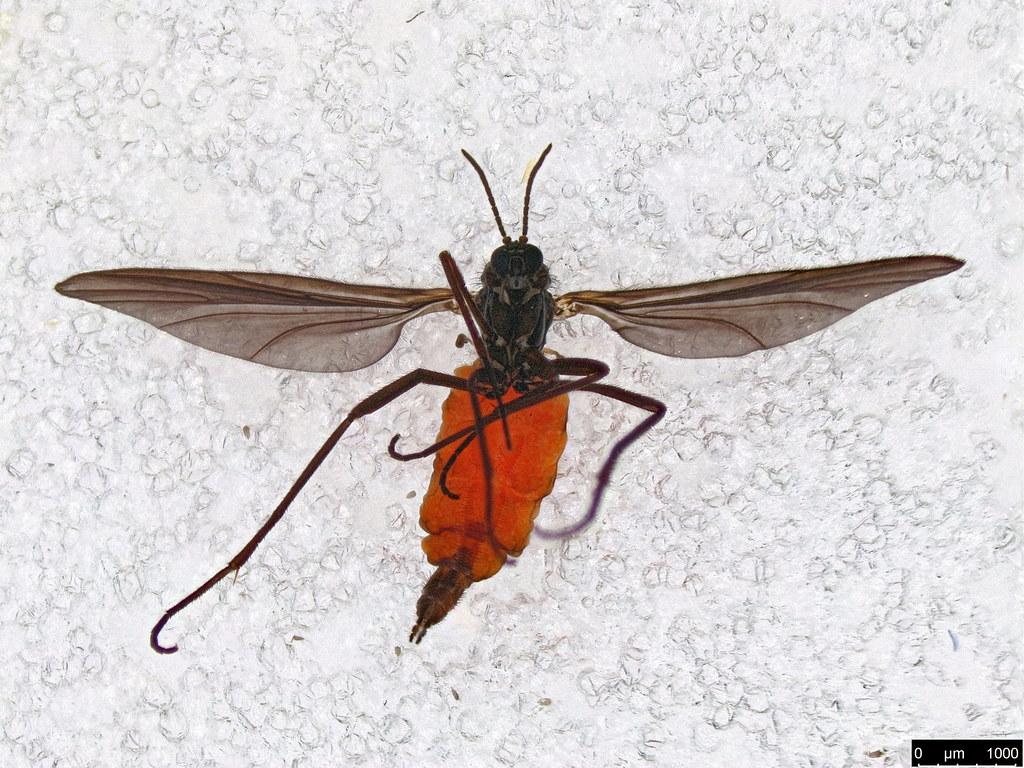 1a - Scaridae sp.