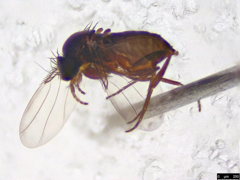 5 - Diptera sp.