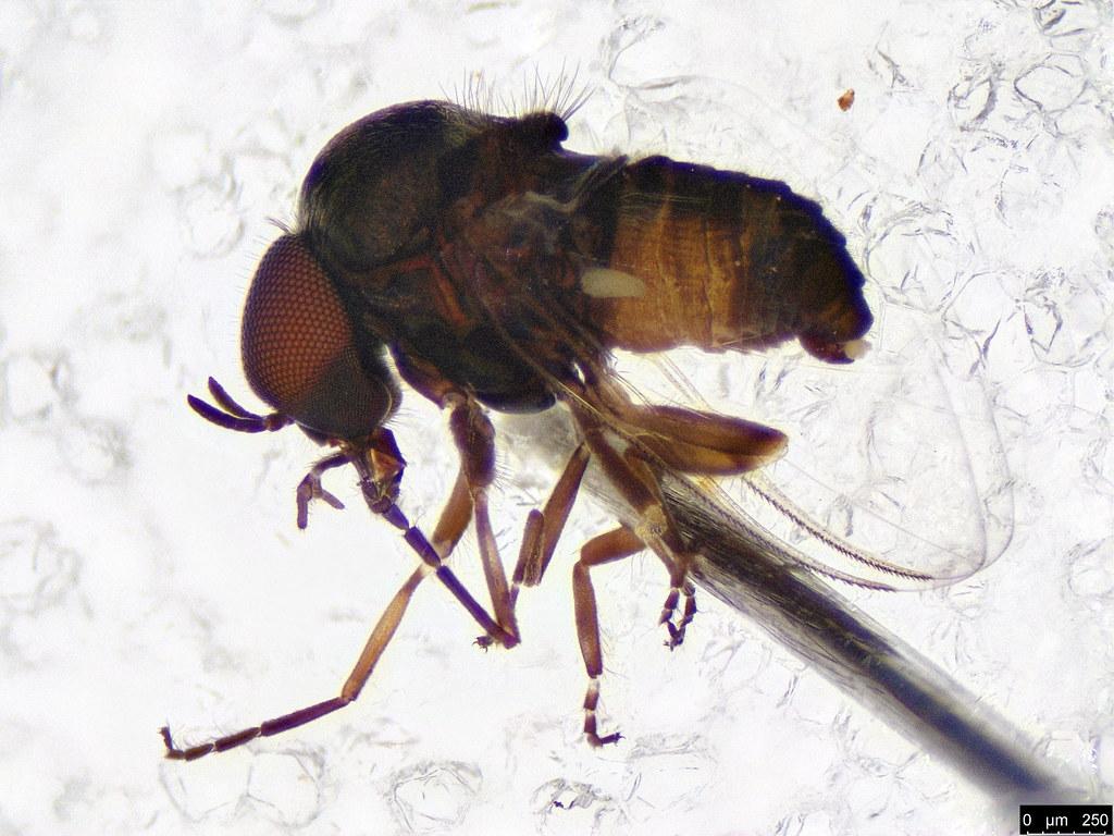6 - Diptera sp.