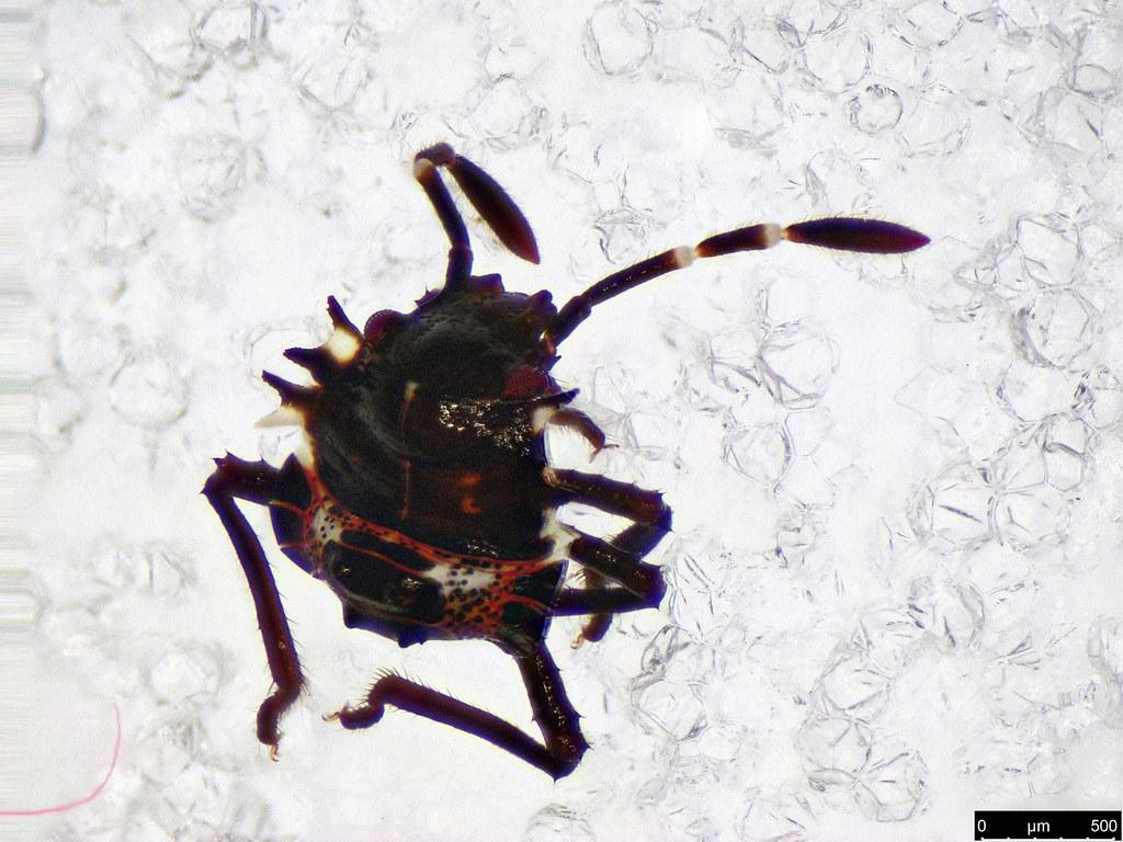 9 - Pentatomoidea sp.