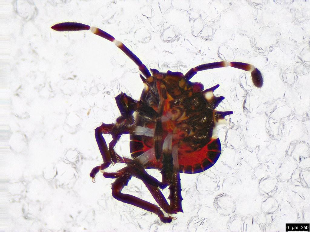 10 - Pentatomoidea sp.