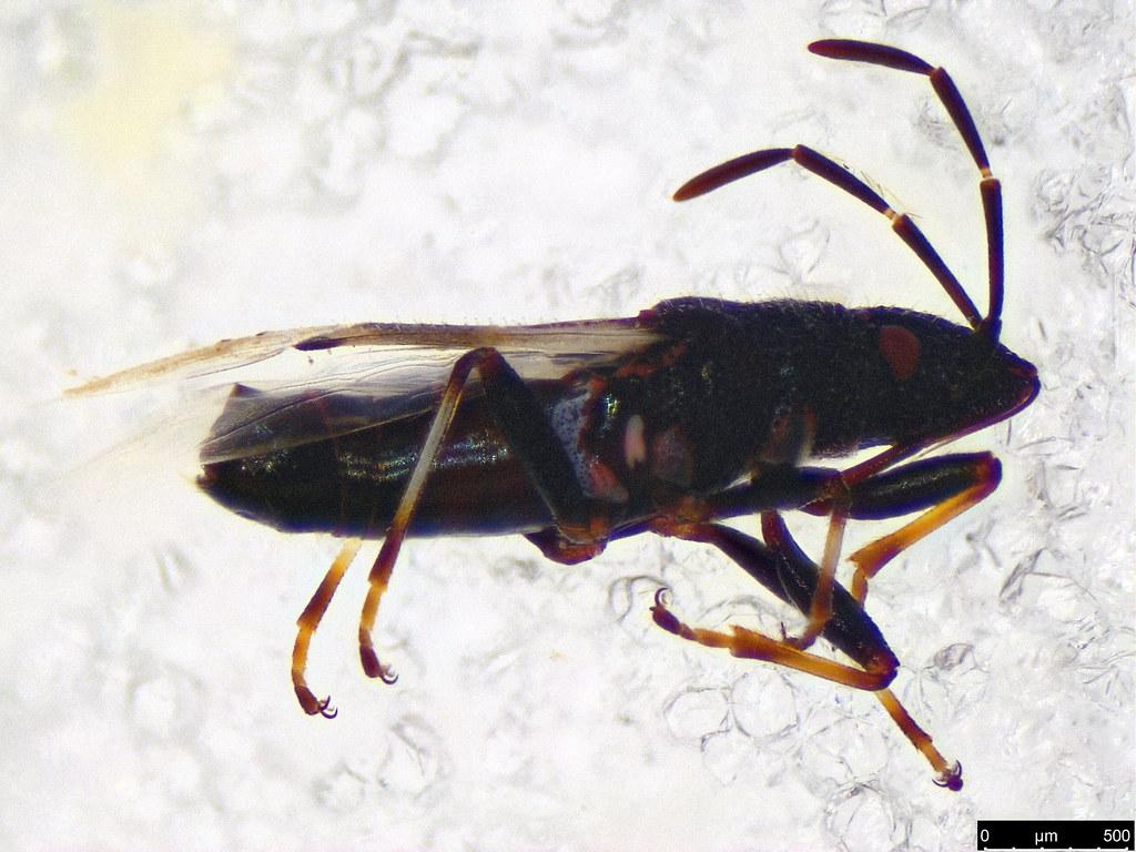 11b - Rhyparochromidae sp.