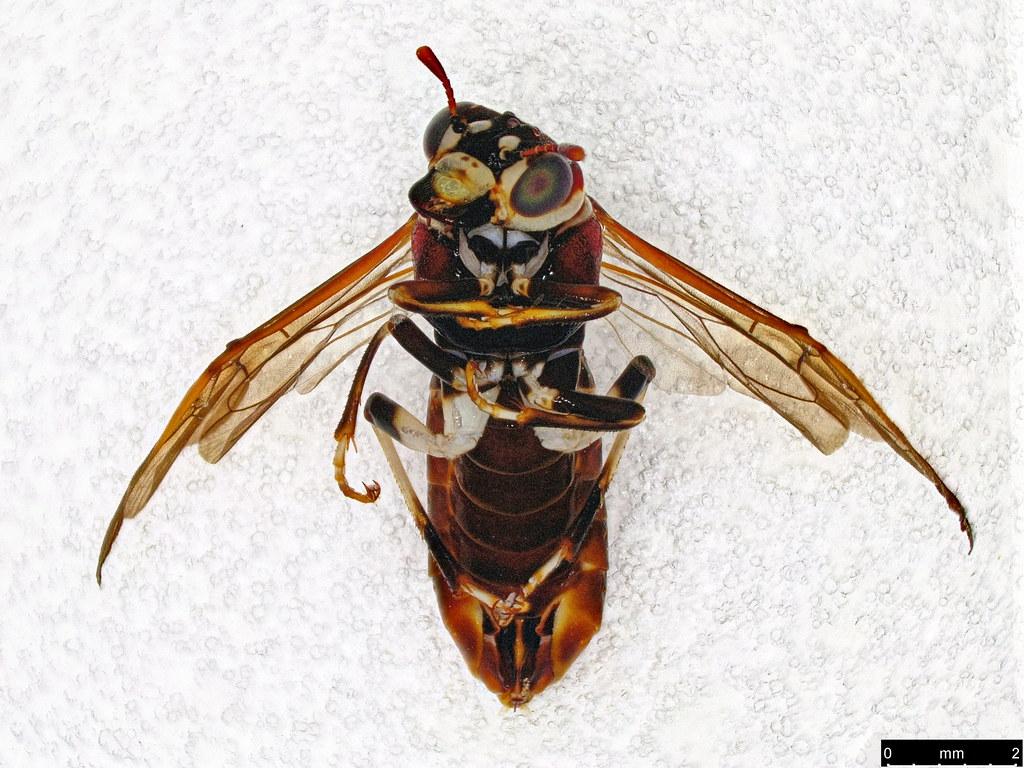 13b - Pergagrapta sp.
