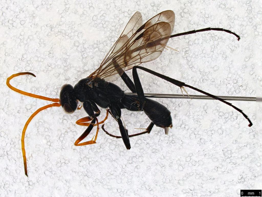 14 - Pepsinae sp.