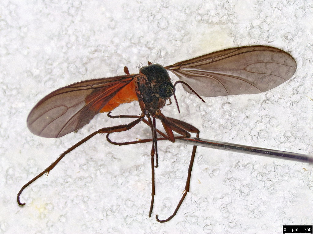 1c - Scaridae sp.