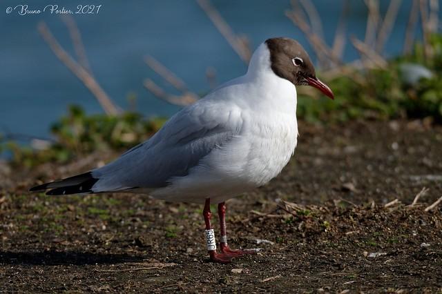 Black-headed Gull, Mouette rieuse (Chroicocephalus ridibundus) - Haccourt, BELGIUM