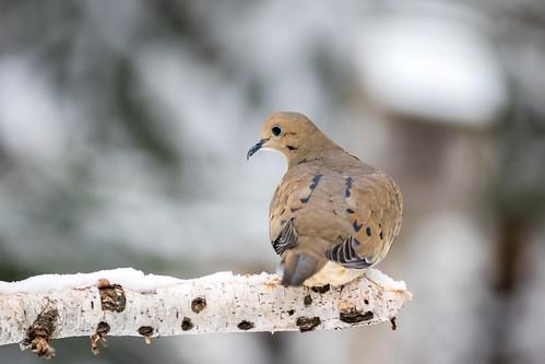 canon400mmf56l canon7dmk2 mourningdove birds dove nature prime winter