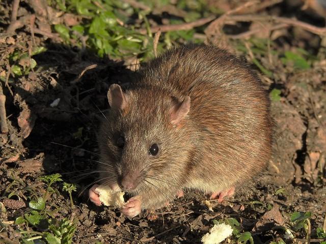 Brown Rat (Explored)