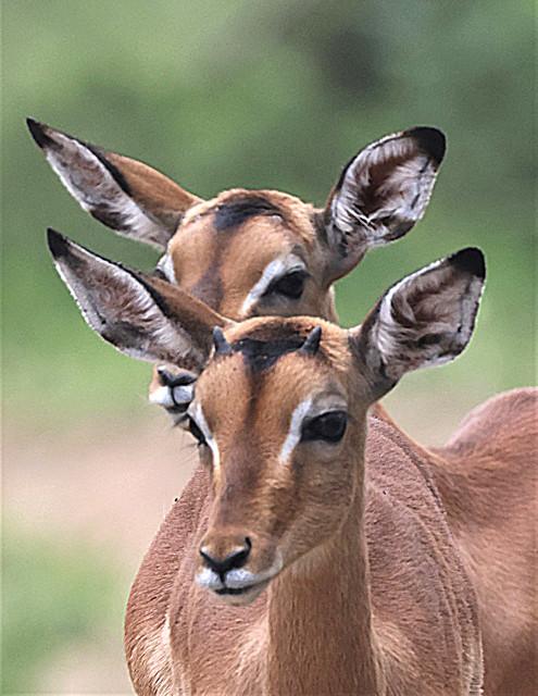 Photogenic young impala portrait