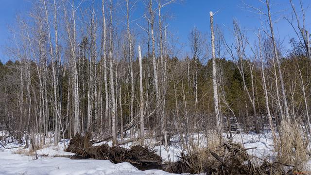 Arbres déracinés par le vent - Marais-Léon-Provancher, PQ, Canada - 6261