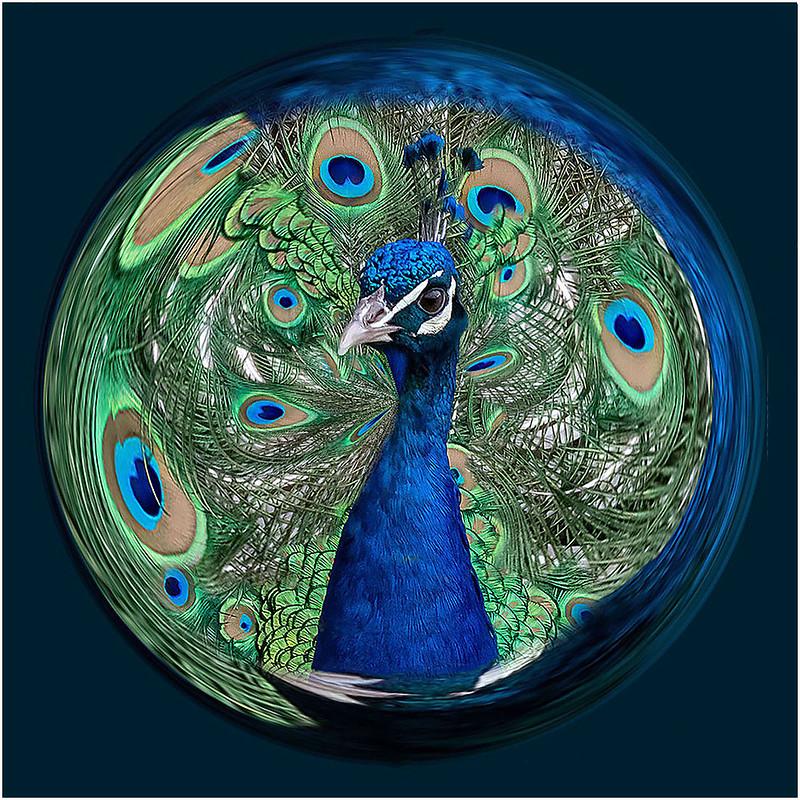 Peacock by Barbara Dunn - Abstract Theme Digital Award - Mar 2021