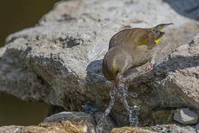 Thirsty greenfinch (♀).