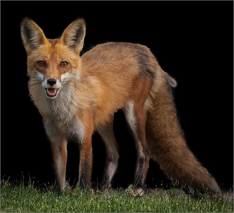 A Foxy Look by Ron Szymczak - Class A Digital HM - Mar 2021