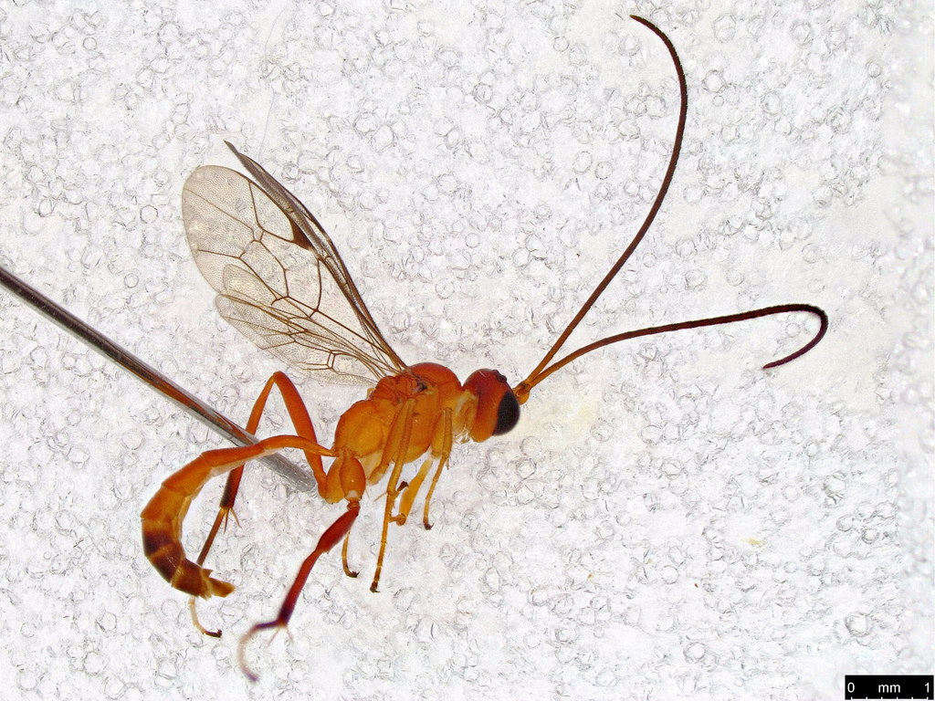 22 - Ichneumonidae sp.