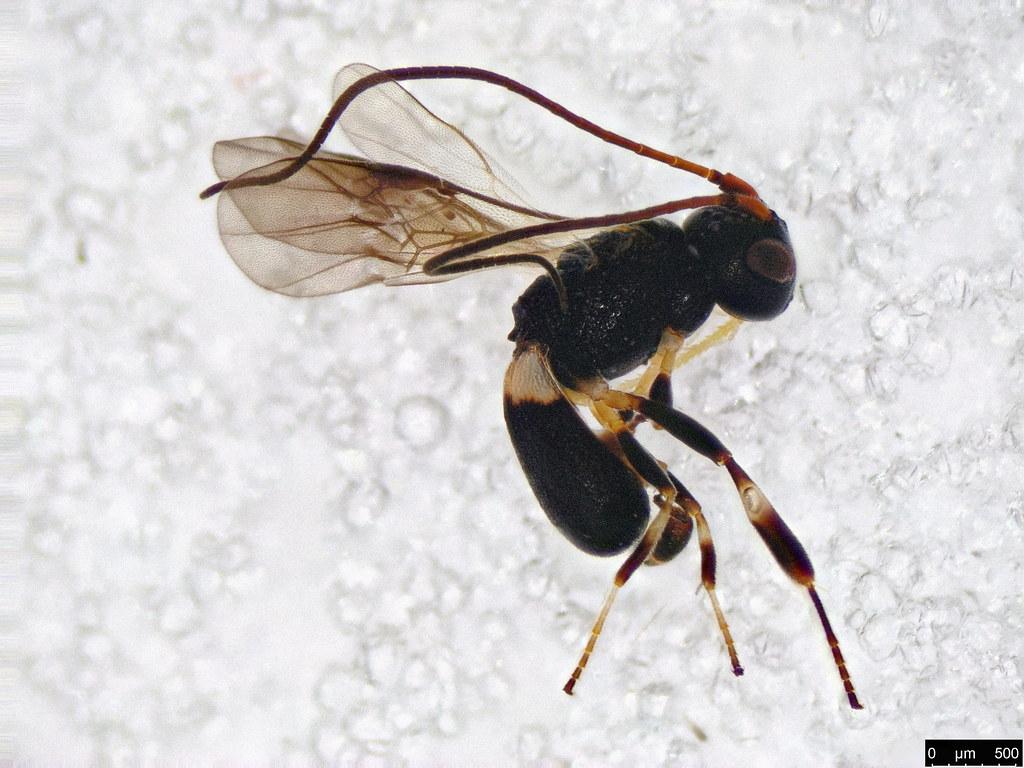25 - Cheloninae sp.
