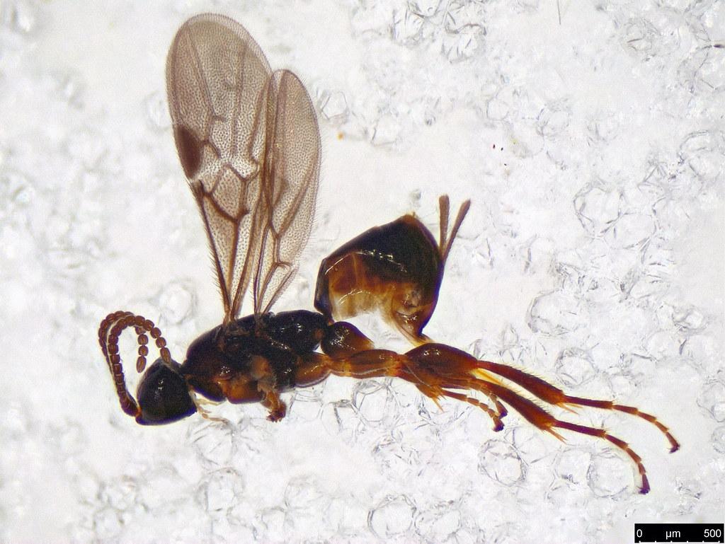 32 - Hymenoptera sp.