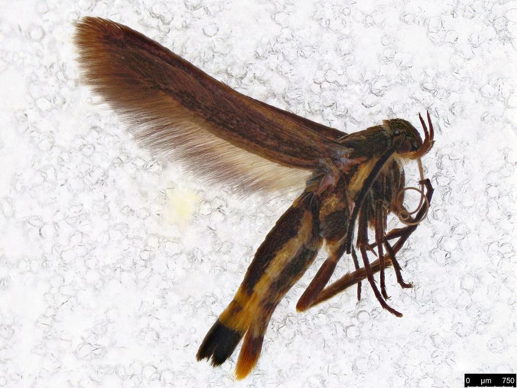 39 - Gelechioidea sp.