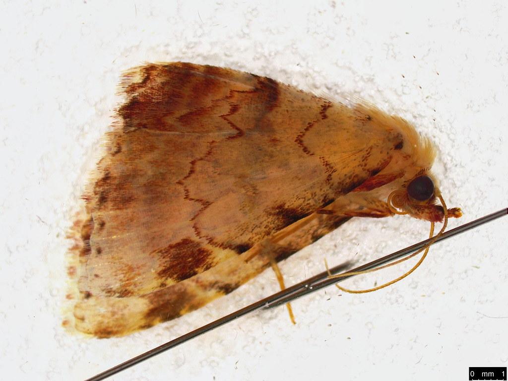 40 - Sandava xylistis Swinhoe, 1900