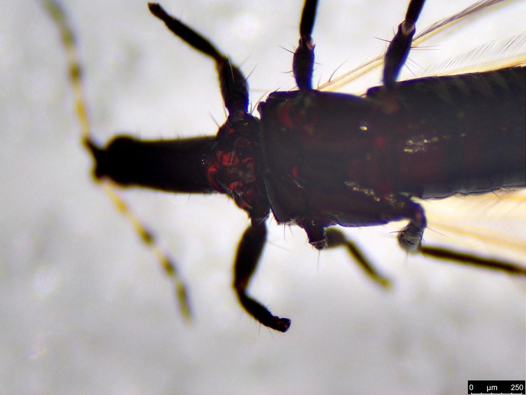 41b - Thysanoptera sp.