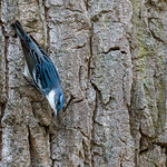 Cerulean warbler,