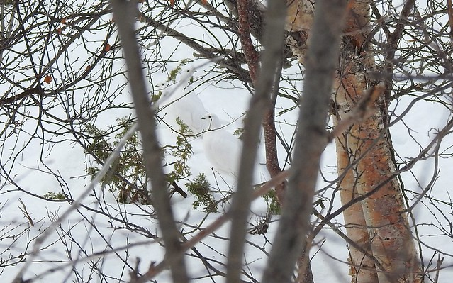Perdices nivales en Laponia Sueca