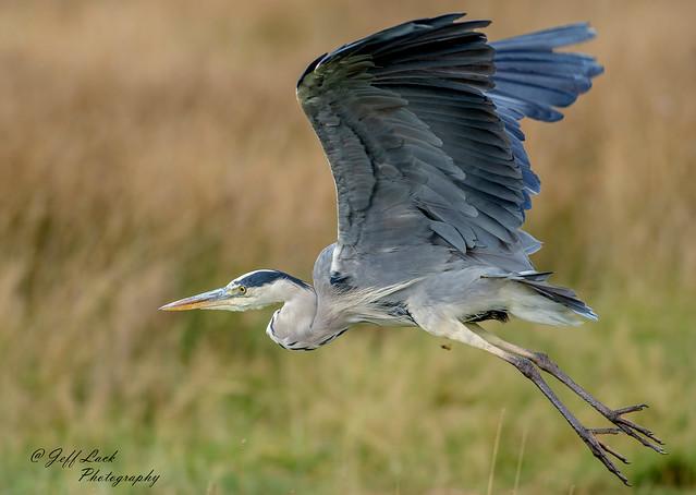 DSC2481 Grey Heron..