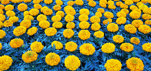 I Dreamed of Yellow Flowers on a Sea of Blue Green Leaves