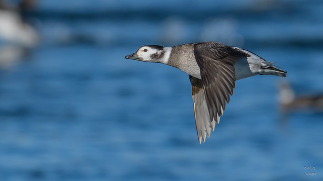 Long-tailed Duck(F)   1532