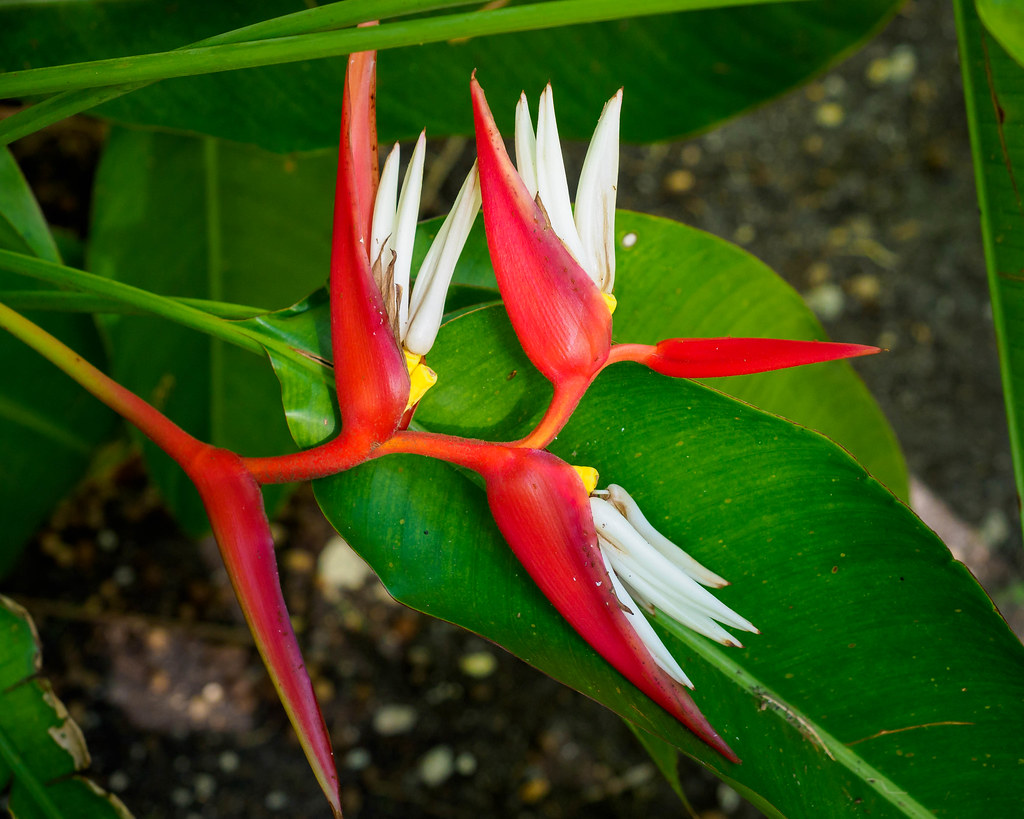 Heliconia 'Dimitri Sucre' (Heliconia x pabstii)