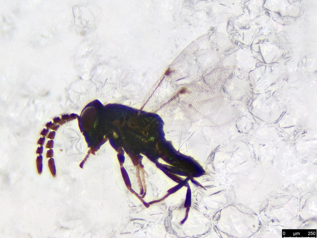 34 - Hymenoptera sp.