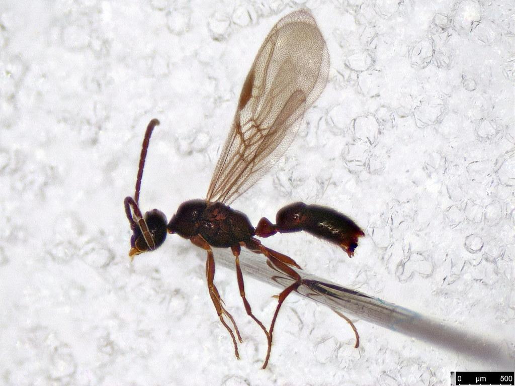 36 - Formicidae sp,