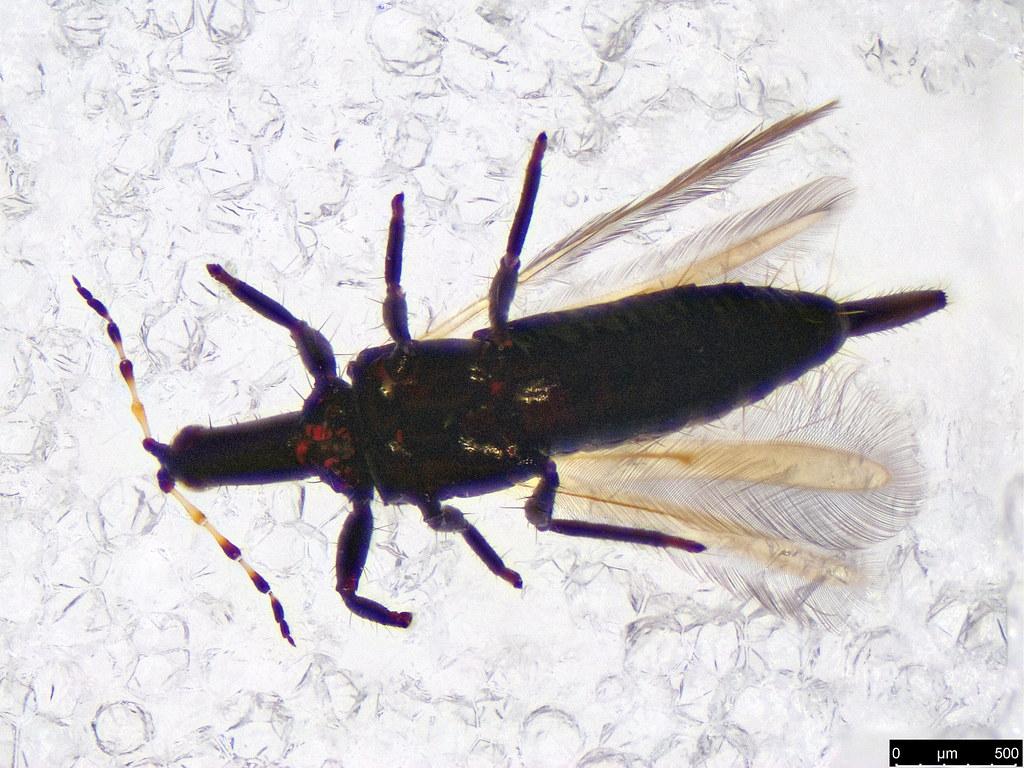 41a - Thysanoptera sp.
