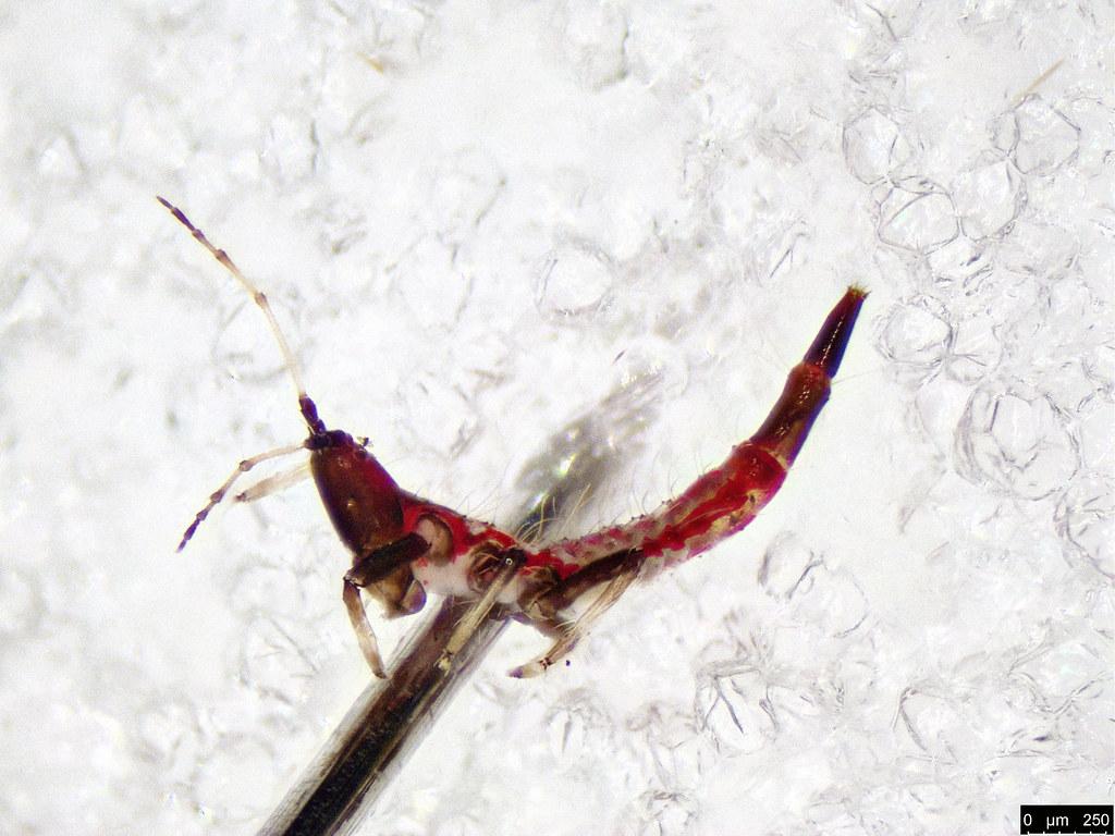 42b - Thysanoptera sp.
