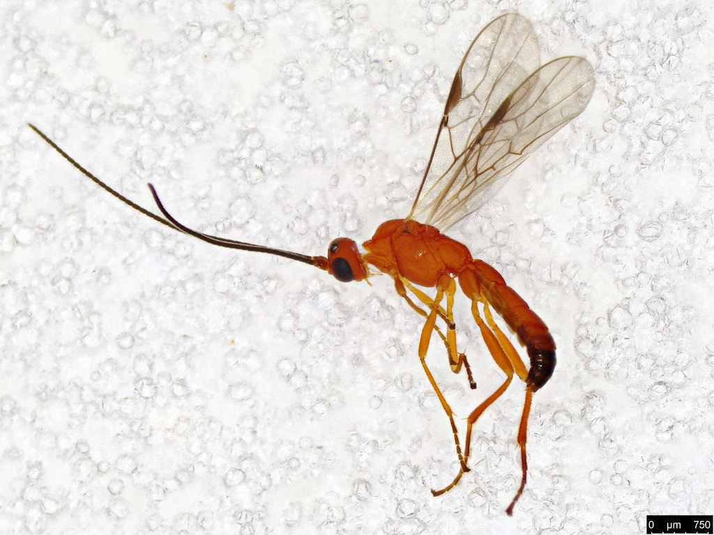 20 - Ichneumonidae sp.